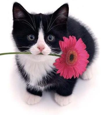 gerbera cat